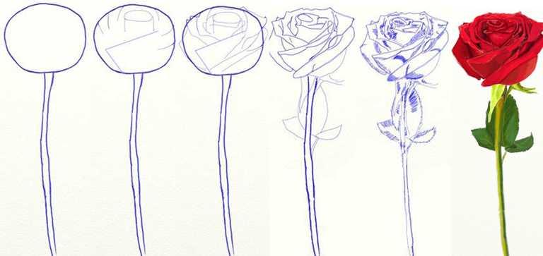 Поэтапно как нарисовать розу фото